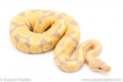 Toffee ph VPI axanthic ball python for sale reptile for sale