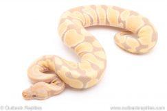 Toffino poss het VPI Axanthic ball python for sale reptile for sale