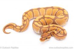ultramel ball pythons for sale