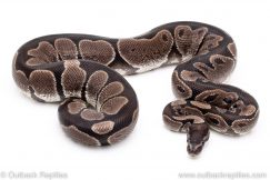 VPI Axanthic ball python for sale reptile for sale