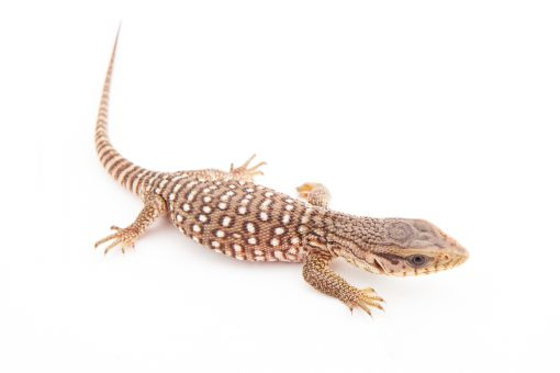 baby savannah monitor lizard for sale