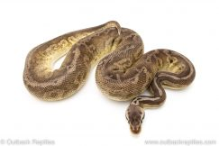 Black pewter Fire poss het pied ball python for sale
