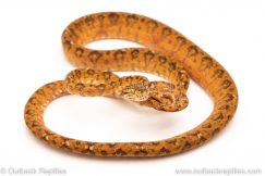 Calico Amazon tree Boa for sale