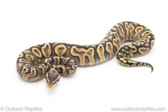 GHI pastel yellowbelly poss het clown ball python for sale