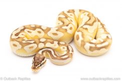 Pastel Lesser YB poss het Pied ball python for sale