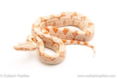 Kahl Albino redtail boa for sale