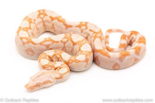 Kahl Albino redtail boa for sale