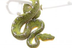 Amazon Basin Emerald Tree Boa for sale