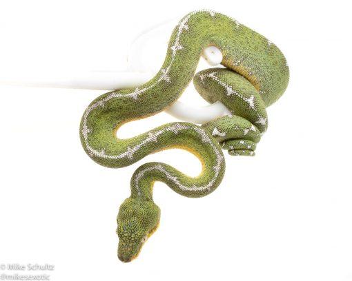 Amazon basin Emerald Tree Boa for sale