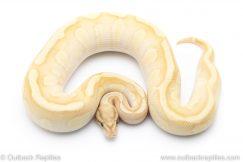 Banana Fire Butter Enchi het Clown ball pythons for sale