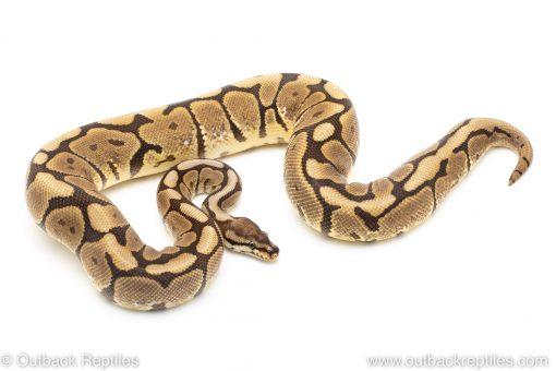 spider black pastel ball python for sale