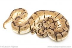 Adult breeder female Bumblebee ball python for sale