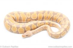 Candy ball pythons for sale