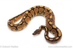 Cinnamon Enchi het Lavender ALbino ball python for sale