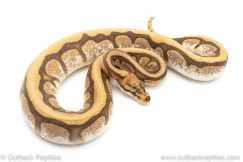Cypress Spider ball python for sale