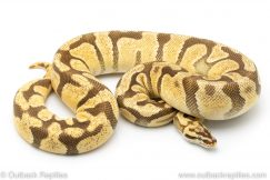 Enchi Firefly ball python for sale