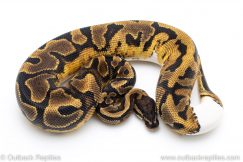 Enchi Pied het ALbino ball pythons for sale