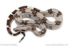 Guyana Redtail Boa for sale