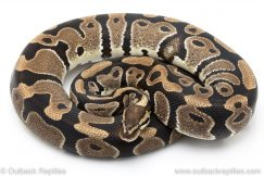 Normal Het Clown ball python for sale