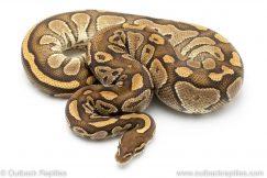 Lesser het clown ball python for sale
