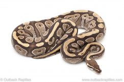 Adult Breeder Female Mojave ball python for sale