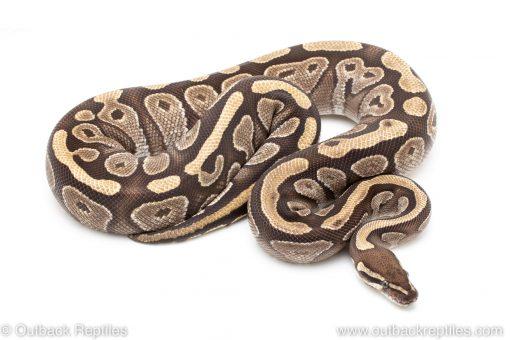 Adult Breeder Female Mojave ball python for sale
