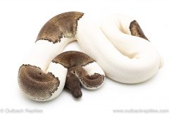mojave pied ball python for sale