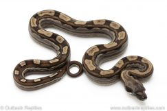Motley redtail boa for sale