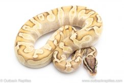 pastel enchi lesser poss het pied ball python for sale