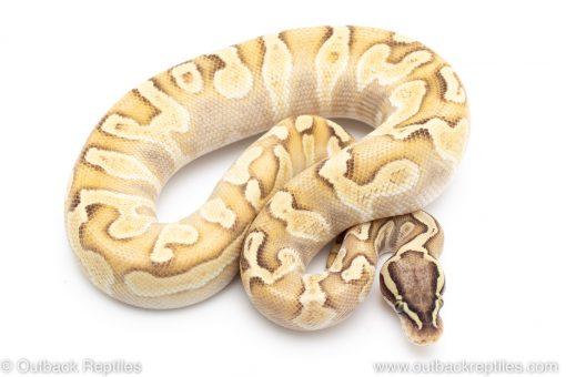 pastel enchi lesser poss het pied ball python for sale