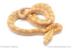 purple albino reticulated python for sale
