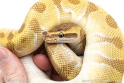 Super Enchi Butter ball pythons for sale