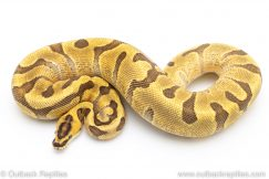 Super Enchi Fire ball pythons for sale