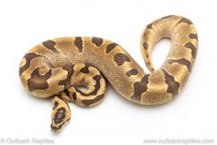Super Enchi Fire het CLown ball pythons for sale
