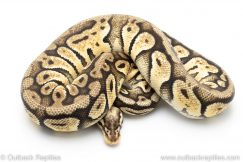 super pastel het clown ball python for sale