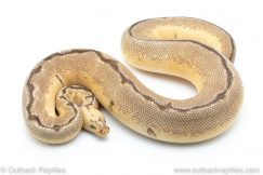 bumblebee blade clown ball python for sale