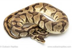 Pastel Enchi ball python for sale