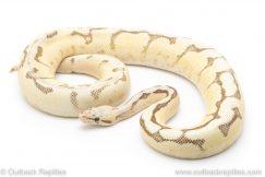 Vanilla Scream Bee ball python for sale