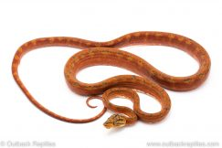 Red amazon tree boa for sale