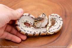 Africa Import Ball Python for sale