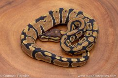 African import ball python for sale