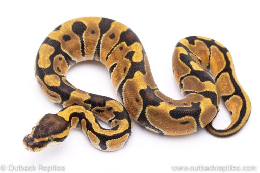 Enchi ball python for sale