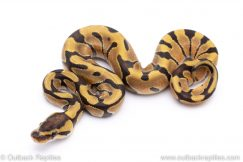 Enchi plus male ball python for sale