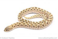 Western Hognose Snake for sale