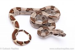 Hypo redtail boa for sale
