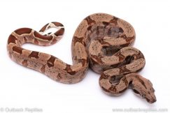 Hypo boa female for sale