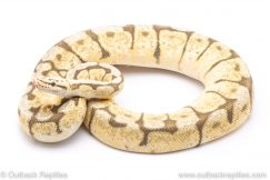 Killer bee adult breeder ball python for sale