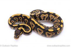 phantom yellowbelly ball python for sale