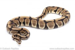Scaleless Head enchi ball python for sale