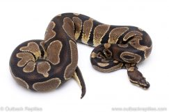Scaleless Head ball python for sale
